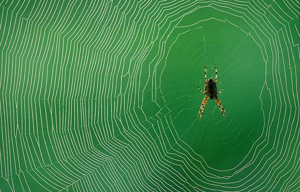 Spinnennetz mit Kreuzspinne