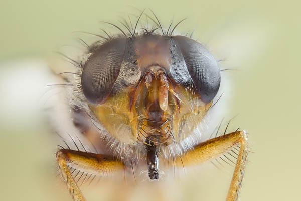 Portrait einer Stubenfliege