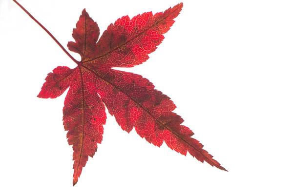 Rotes Blatt vom Fächerahorn (Acer palmatum)