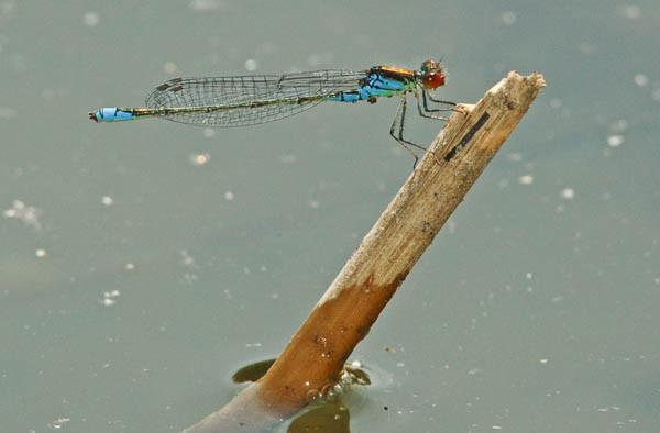 Libelle kleines Granatauge