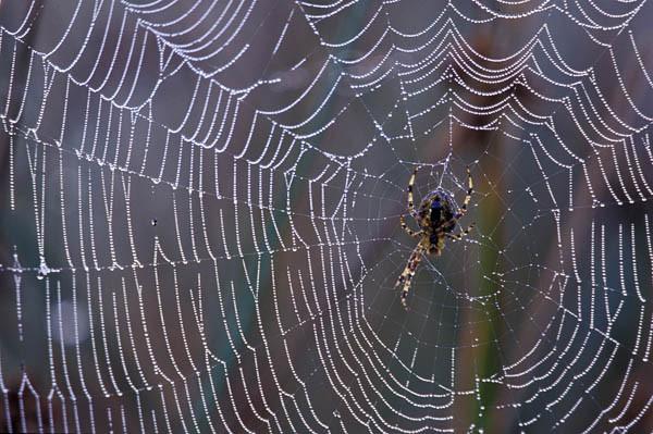 Kreuzspinne im Spinnennetz mit Tautropfen