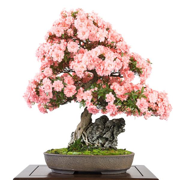 Blühende Azalee als Bonsai