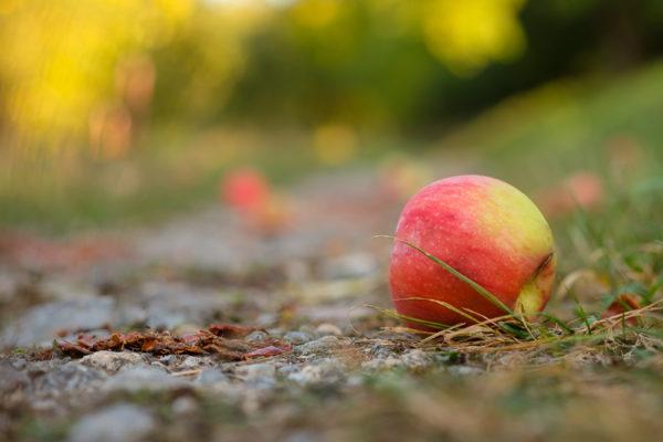 Fallobst Apfel