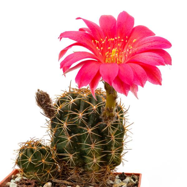 Lobivia Kaktus Hybride