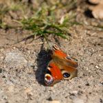 Makrofotos von Schmetterlingen