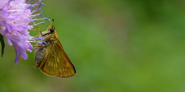 Frühlingsscheckenfalter (Hamaeris lucina)?