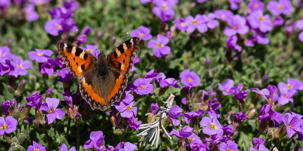 Schmetterling Kleiner Fuchs (Aglais urticae)
