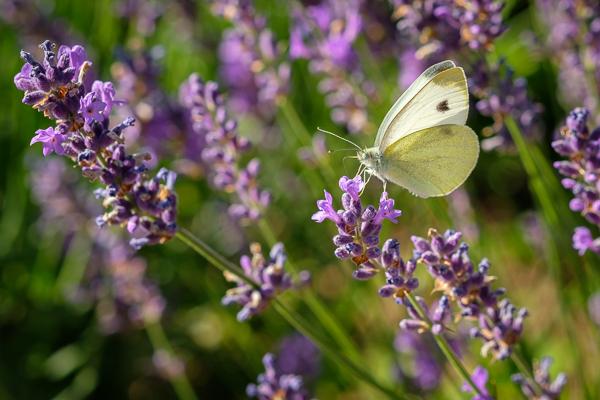 Schmetterling Kohlweißling (Pieris)
