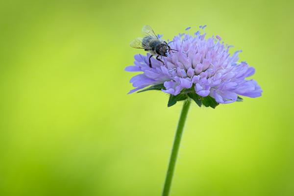 Biene auf einer Acker-Witwenblüte (Knautia arvensis)