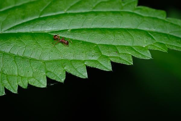 Rote Ameise auf einem Brennesselblatt