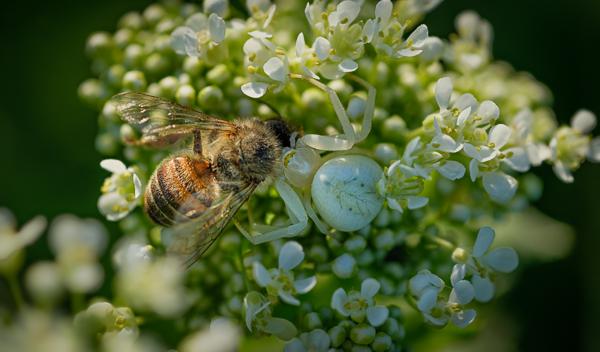 Veränderliche Krabbenspinne (Misumena vatia) verspeist eine Biene